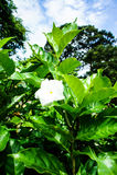 Gardeniajasminoides Arkivbilder