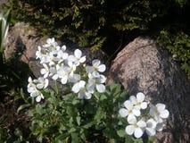 Gardenian Royaltyfri Bild
