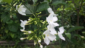 Gardenias ανθίσματος στοκ φωτογραφίες