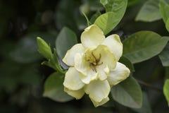 Gardenie jasminoides auf unscharfem Hintergrund Lizenzfreies Stockbild