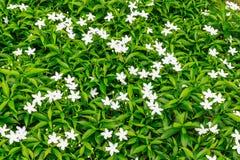 Gardenieblume, Ervatamia Lizenzfreies Stockfoto