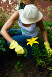 Gardening. Female in gloves and hat with yellow lily Royalty Free Stock Image