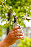 Gardening. Somebody trimming a twig of an apple tree Royalty Free Stock Photos