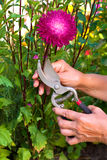 Gardening. Woman hands cutting a violet aster in the gurden with pruning shears Stock Images