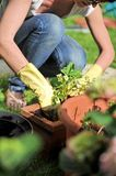 Gardening. A woman busy arranging garden flowers in a flowerpot Royalty Free Stock Photos