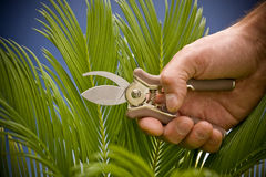 Gardening. Hand holding secateurs and pruning a plant stock image