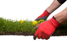 Gardening. Strip of grass and soil with garden-gloves isolated on white background. Please Have a look at my similar images Stock Image