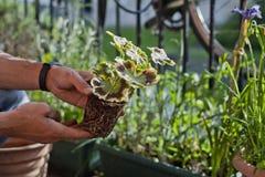 Free Gardening Activity On The Sunny Balcony  -  Repotting The Plant Three-coloured Geranium - Pelargonium Tricolour With Decorative Royalty Free Stock Photography - 149188527