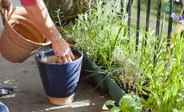 Free Gardening Activity On The Sunny Balcony  -  Repotting The Plants Geranium, Pelargonium, Pepper Plants, Squash Seedlings And Young Stock Images - 149188384