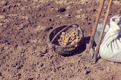 Gardening activity on the plot. Wicker old basket with potatoes and tools on the background of the field Stock Image