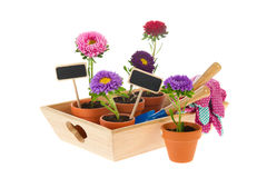 Gardening with asters Royalty Free Stock Photography