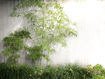 Gardening, bamboo. Climbing on the white wall of bamboo stock images