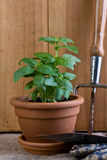Gardening - Basil Herb in Pot Royalty Free Stock Image