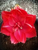 Red Christmas,Red Amaryllis,Hippeastrum red velvet, Red flower in pot Royalty Free Stock Photo