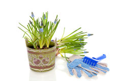 Gardening blue grape-hyacints Stock Image