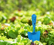 Blue scoop and green lettuce Stock Photo