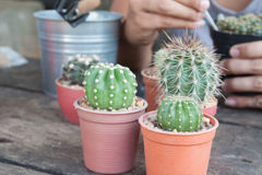 Gardening cactus in pot plant on wooden table Royalty Free Stock Photo