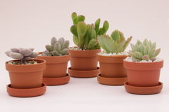 Gardening cactus and succulents Royalty Free Stock Photos
