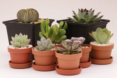 Gardening cactus and succulents Stock Photos