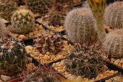 Gardening cactus and succulents. And miniature garden, drives your creativity Royalty Free Stock Images