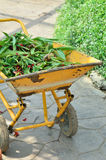 Gardening cart full of dried leaves Royalty Free Stock Photo