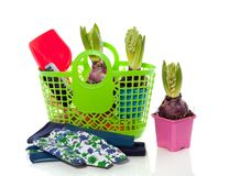 Gardening with colorful hyacinths Stock Images