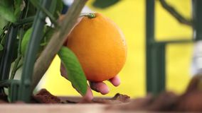 Gardening concept, hand touching the orange. Tree stock video footage