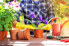 Gardening concept. Planting flowers on the garden. Cherishing my garden. Portrait of gardener`s hands in checkered shirt and rubber gloves are planting flowers Royalty Free Stock Photo