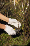 Gardening concept: Pliers in the hand, cutting of branches of Blackcurrant Stock Photography