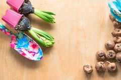 Gardening concept. Seedling hyacinth, garden tools, scissors, twine, shopping paper bag, tubers-bulbs gladiolus. Copy space. Seaso. Nal gardening. Top view royalty free stock photography