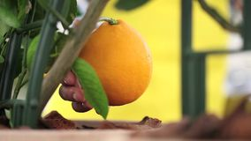 Gardening concept, woman hand touching the orange. Tree stock video