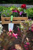 Gardening. Crate Full of Gorgeous Plants and Garden Tools Ready for Planting In Sunny Garden. Spring Garden Works. Royalty Free Stock Image