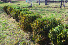 Gardening, cutting hedge Stock Photo