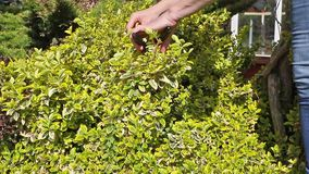 Gardening-cutting a plant stock footage