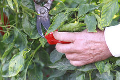Gardening at the farm. Middleage man harvesting the red peppers at farm Royalty Free Stock Photography