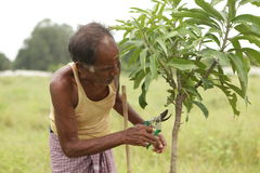 Gardening. A farmer trenching the mango plant Stock Image
