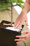 Gardening - female hands take care of bonsai tree Royalty Free Stock Image