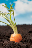 Gardening fresh carrot Royalty Free Stock Images