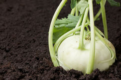 Gardening fresh kohlrabi turnip Royalty Free Stock Image
