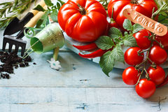 Gardening. Fresh ripe tomatoes and gardening tools on an old wooden board Royalty Free Stock Image