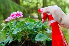 Gardening a geranium flower Stock Image