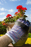 Gardening Glove tending Potted Geranium Flowers Royalty Free Stock Photography