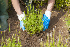 Gardening with gloves and boots in lavender garden Stock Photography
