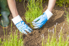 Gardening with gloves and boots in lavender garden Stock Images