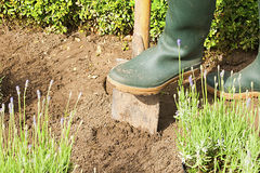 Gardening with gloves and boots in lavender garden Royalty Free Stock Images