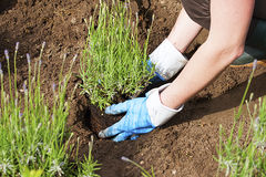 Gardening with gloves and boots in lavender garden Stock Photo