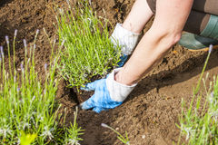 Gardening with gloves and boots in lavender garden Stock Photos