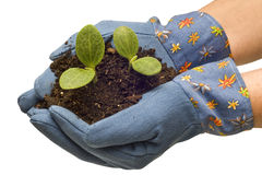 Gardening Gloves Cradling Baby Plants Revised Stock Photography