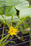 Gardening - Growing Cucumber Royalty Free Stock Images