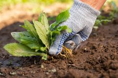 Gardening Hand Pulling Out Weeds Grass From Soil. royalty free stock photos